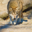 Eastern Wolf or american grey wolf (Canis lupus lycaon) — Stock Photo #18626393