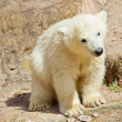 Polar bear (Ursus maritimus) — Stock Photo