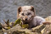 Arctic Fox (Alopex lagopus) — ストック写真