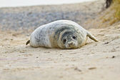 Young Grey seal (Halichoerus grypus) — Stock Photo