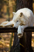 Arctic wolf (Canis lupus arctos) — Stock Photo