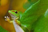 Madagascar day gecko (Phelsuma madagascariensis) — Stock Photo