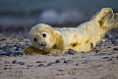 Young Grey seal (Halichoerus grypus) — Foto de Stock