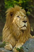 Transvaal lion (Panthera leo krugeri) — Stock Photo