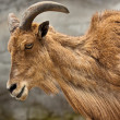 Barbary Sheep (Ammotragus lervia) — Stock Photo