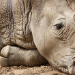 Royalty-Free Stock Photo: White Rhinoceros or Square-lipped rhinoceros (Ceratotherium simum)