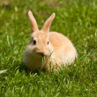 Pet rabbit (Oryctolagus cuniculus) — Stock Photo #18639837