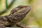 Bearded dragons (Pogona) — Stock Photo