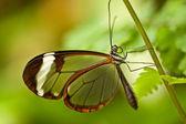 Glasswinged butterfly (Greta oto) — Stock Photo