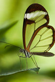 Glasswinged butterfly (Greta oto) — Stock Photo