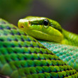 Red-tailed Green Ratsnake (Gonyosoma oxycephalum) — Stock Photo
