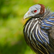 Vulturine Guineafowl (Acryllium vulturinum) - Stock Photo