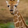 Rothschild giraffe (Giraffa camelopardalis rothschildi) — Stock Photo