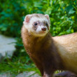 Ferret (Mustela putorius furo) — Stock Photo