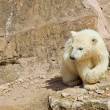 Stock Photo: Polar bear (Ursus maritimus)