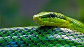 Red-tailed Green Ratsnake (Gonyosoma oxycephalum) — Foto Stock
