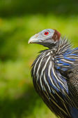Vulturine Guineafowl (Acryllium vulturinum) — Stock Photo