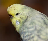 Budgerigar (Melopsittacus undulatus) — Stock Photo