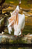 Great White Pelican (Pelecanus onocrotalus) — Stock Photo