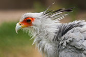 Secretarybird (Sagittarius serpentarius) — Stock Photo