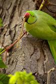 Rose-ringed Parakeet (Psittacula krameri) — Stock Photo