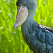 Stock Photo: Shoebill, Abu Markub (Balaeniceps rex)