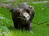Cinereous Vulture (Aegypius monachus) — Stock Photo