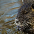 Coypu (Myocastor coypus) - Stock Photo