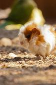 Guinea pig (Cavia porcellus) — Stock Photo