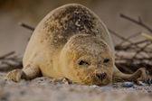 Harbor seal (Phoca vitulina vitulina) — Stockfoto