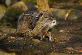 Coypu (Myocastor coypus) — Stock Photo