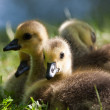 Canada Goose (Branta canadensis) - Stock Photo