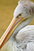 Pink-backed Pelican (Pelecanus rufescens) — Stock Photo