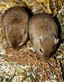 Mongolian gerbils (Meriones) — Stock Photo