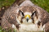 Saker Falcon (Falco cherrug) — Stock Photo