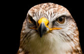 Ferruginous Hawk (Buteo regalis) — Stock Photo