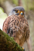 Lesser Kestrel (Falco naumanni) — Stock Photo