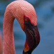 Lesser Flamingo (Phoenicopterus minor) — Stock Photo