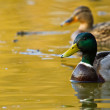 Mallard or Wild Duck (Anas platyrhynchos) — Stock Photo