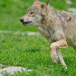 Eastern Wolf or american grey wolf (Canis lupus lycaon) — Stock Photo