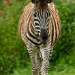 Plains zebra (Equus quagga) — Stock Photo #23928333