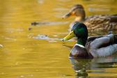 Mallard or Wild Duck (Anas platyrhynchos) — Stock Photo