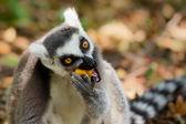 Lemur Kata (lemur Kata) — Stock fotografie
