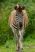 Plains zebra (Equus quagga) — Photo