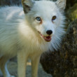 Arctic Fox (Alopex lagopus) — Stock Photo #23935361