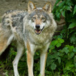 Gray wolf or grey wolf (Canis lupus) — Stock Photo #23935687