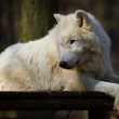Arctic wolf (Canis lupus arctos) — Stock Photo #23937979