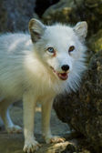 Arctic Fox (Alopex lagopus) — Stock Photo