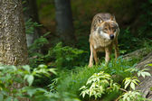 Gray wolf or grey wolf (Canis lupus) — Stockfoto