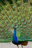 Indian Peafowl or Blue Peafowl (Pavo cristatus) — Stock Photo